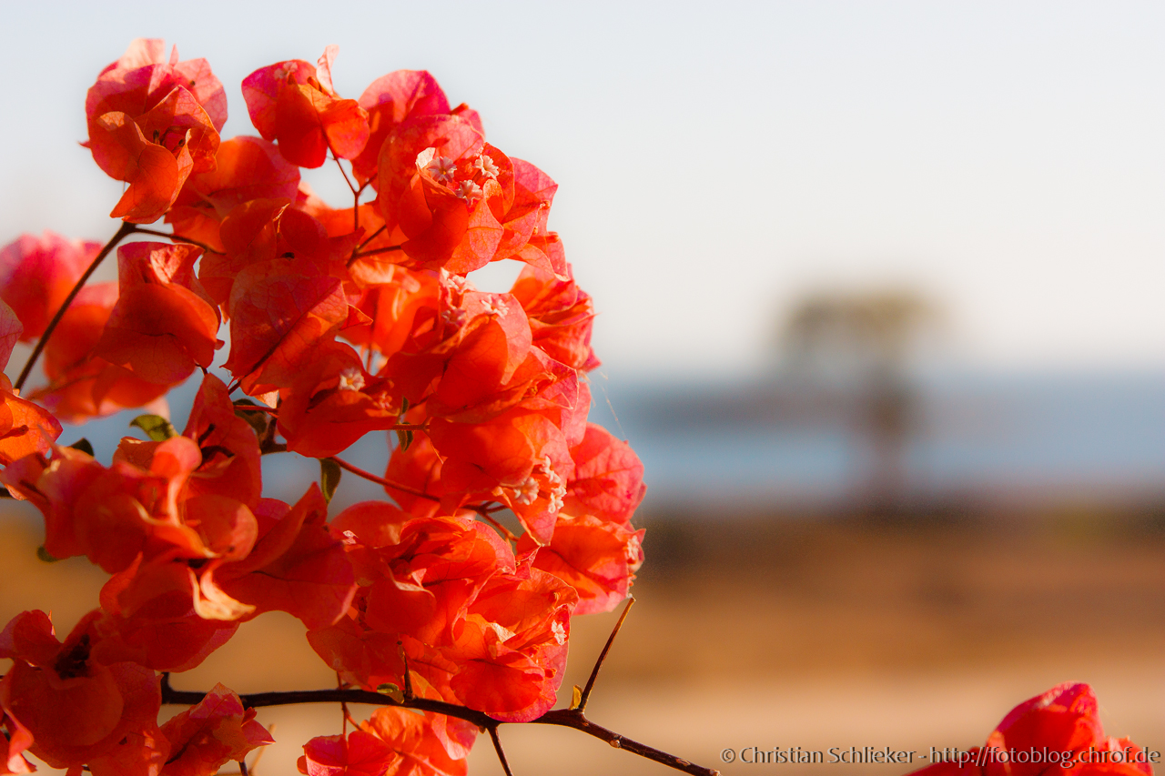 Blumen Wüste Ägypten