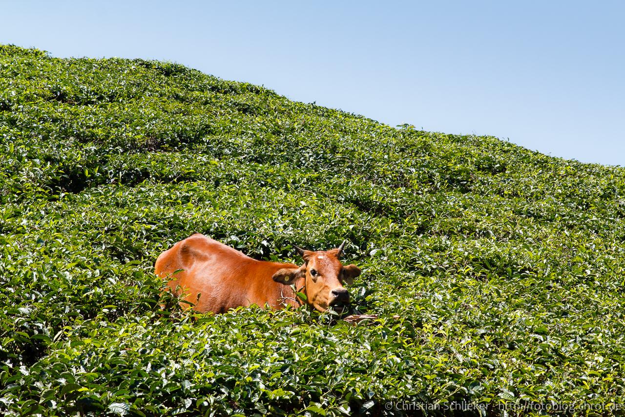 Kuh im Teefeld