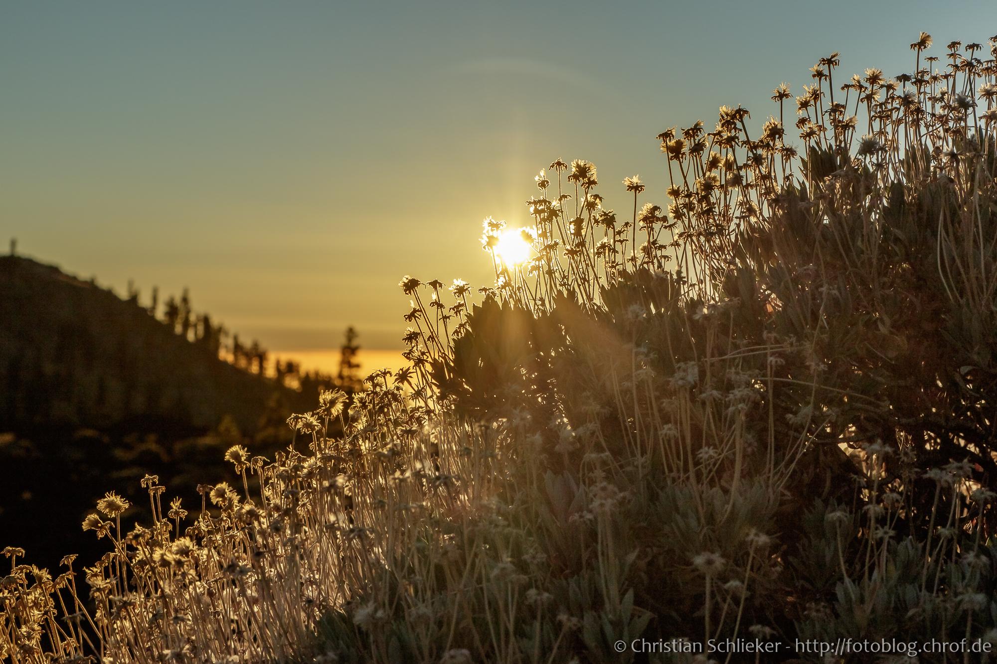 Abendsonne scheint durch einen Ginsterstrauch