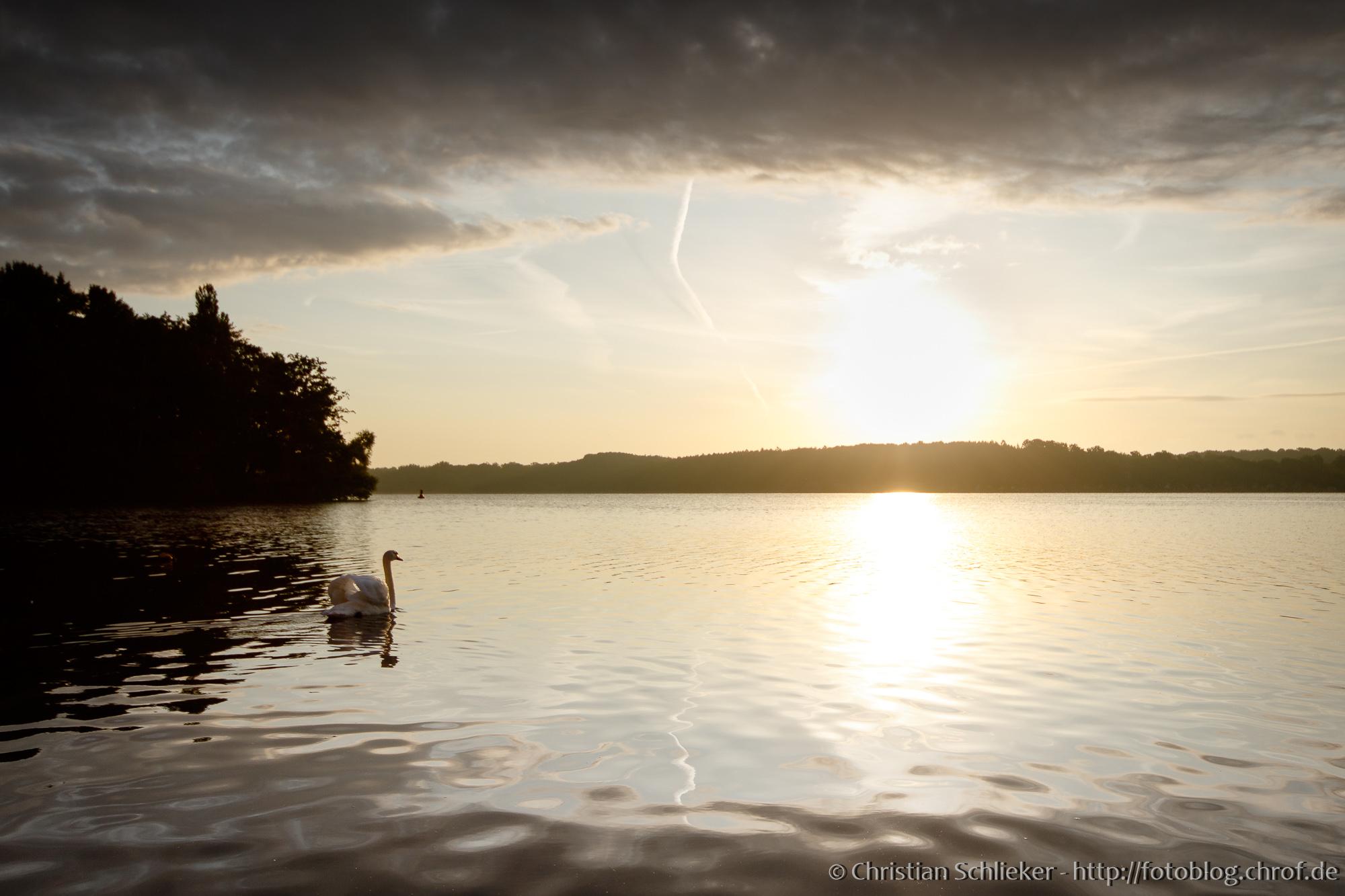 Schwan schwimmt auf dem See im Morgengrauen